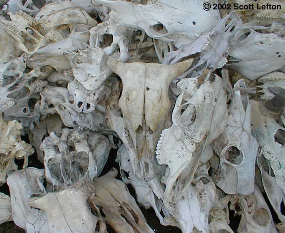 An actual photo of a pile of cow skulls.