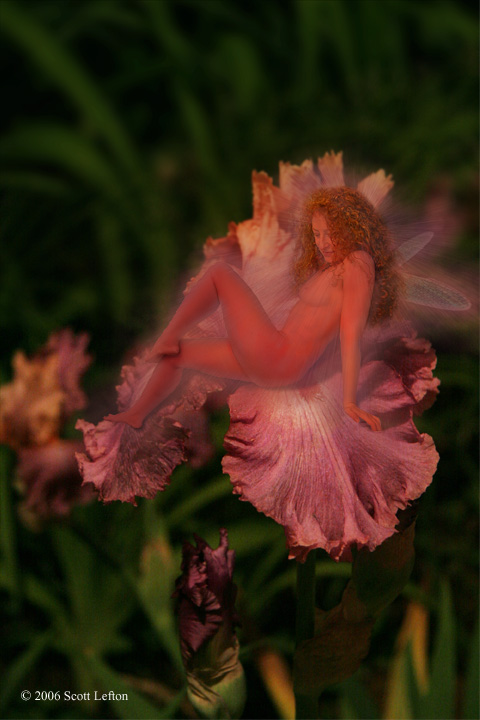 Night-Blooming Flowers:  A faerie with dragonfly wings sits on a purple and orange iris blossom at night.